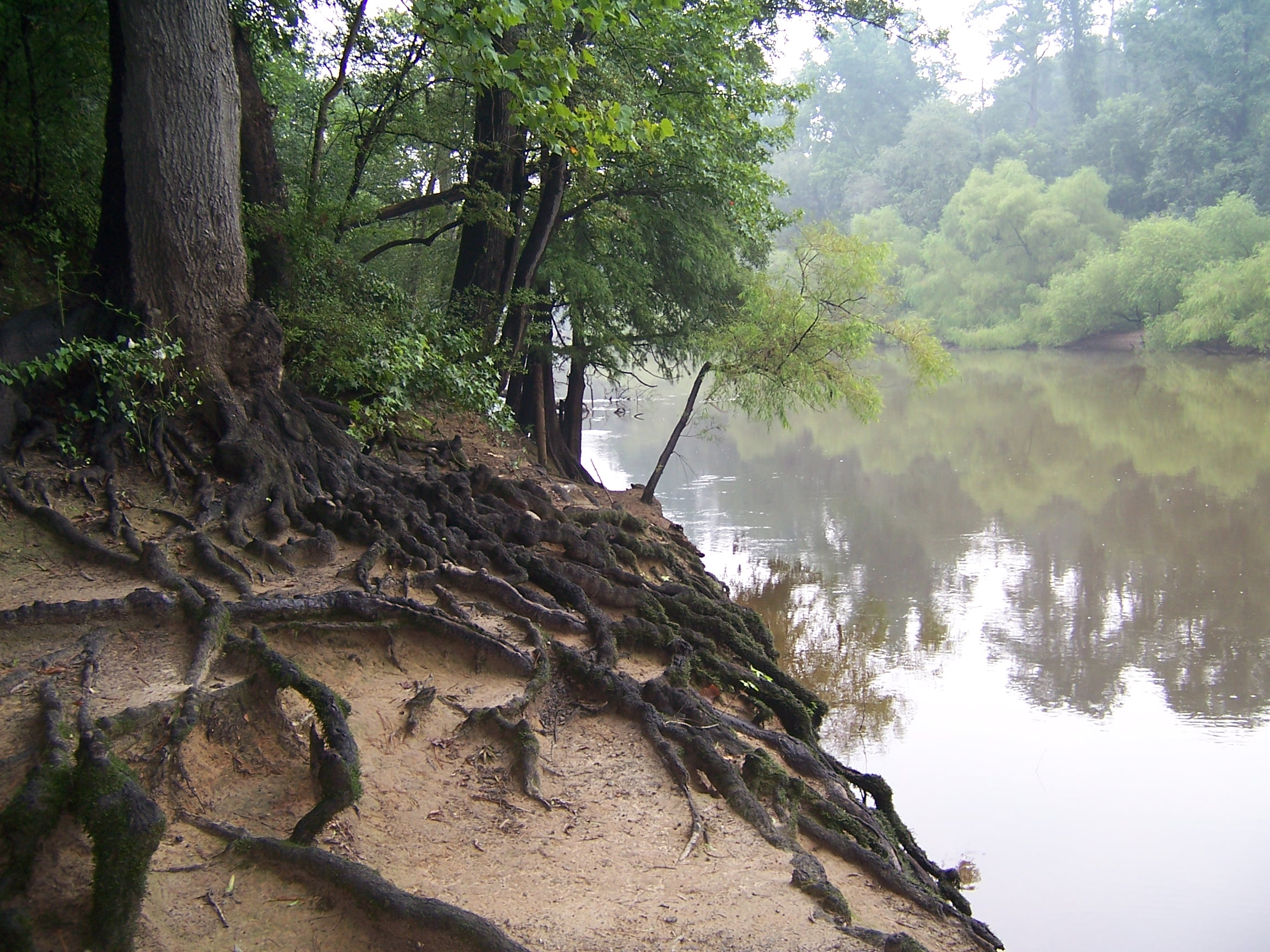 Tree_Roots_at_Riverside